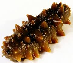 Indigenous food timeline - Trepang or sea cucumber