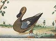 Hawkesbury duck 1790s