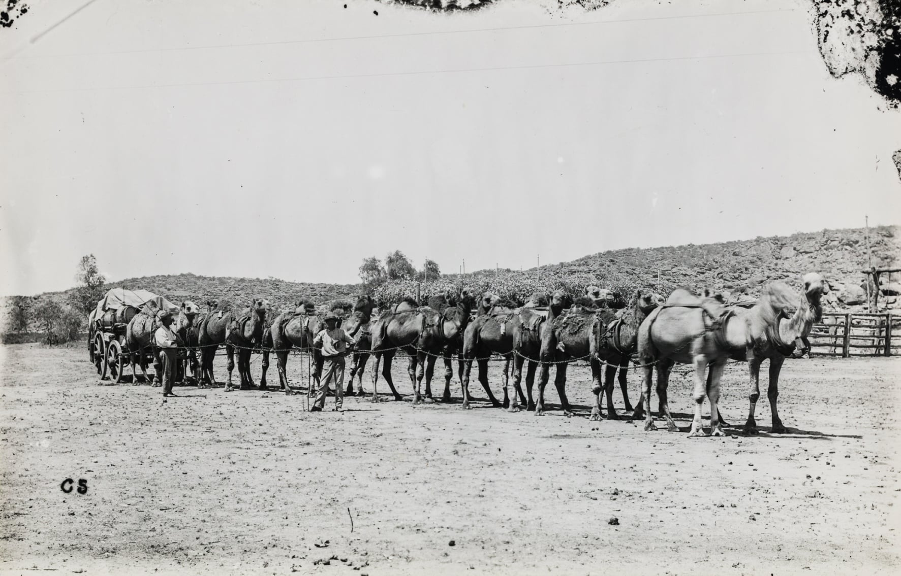 Camel team with wagon, 1906