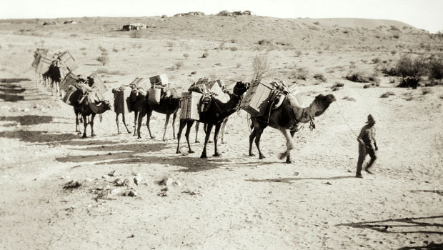 Camels and handler