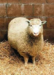 Dolly, the world's first cloned sheep