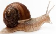 Snail farming in Australia generally uses the variety Helix aspersa