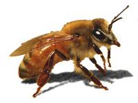 Ligurian bee - bee sanctuary Kangaroo Island