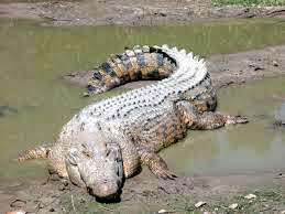 The saltwater crocodile is the species most used in commercial crocodile farming