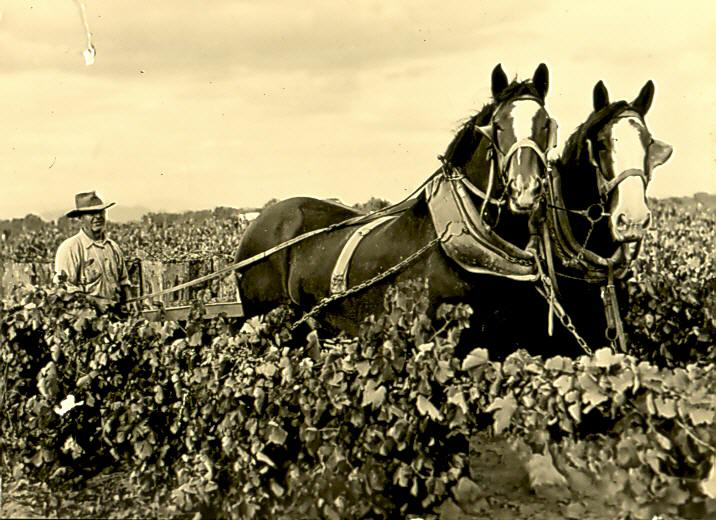 Brown Brothers vineyard 1920s